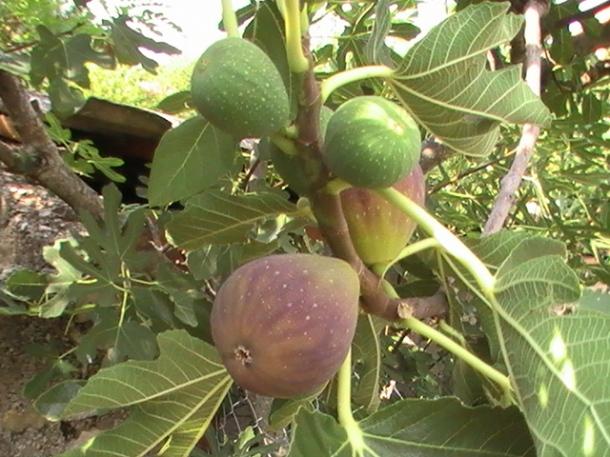 Figs Crna_petrovača_Kričke