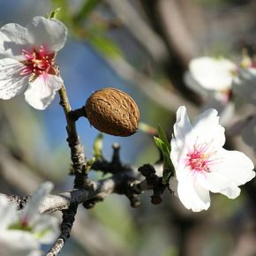 Almond Blossoms: A Jewish Symbol of Hope and Renewal
