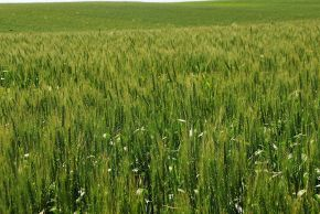Wheat: Jewish Symbol of Abundance and God's Promises Fulfilled