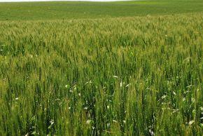 Wheat: Jewish Symbol of Abundance and God's PromisesFulfilled