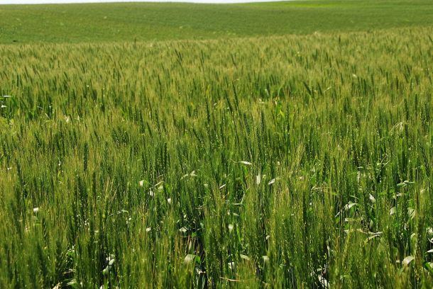 Wheat growing in Israel