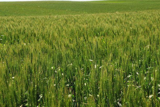 Wheat growing in Israel